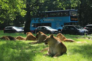safari-xpress-with-lions